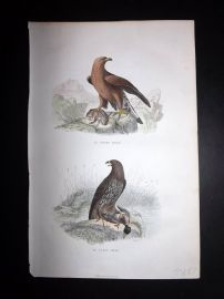 Buffon 1849 Hand Col Bird Print. Great & Small Eagle